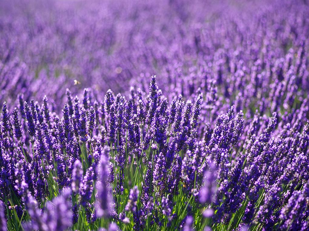 Luvin Lavender